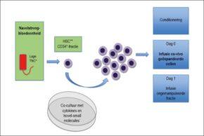 FIGUUR 1. Schematische weergave van navelstrengbloedexpansie. De CD34+-fractie van de navelstrengbloedeenheid wordt geselecteerd en ex vivo bewerkt. Naast hematopoëtische groeifactoren zoals 'stem cell factor' (SCF), 'FMS-like tyrosine kinase 3 ligand' (Flt3L), 'thrombopoietin' (TPO) of G-CSF worden zogenoemde 'novel small molecules' zoals Notch-ligand, StemReginin-1 (SR-1) of 'nicotinamide and non-cultured T cell fraction' (NiCord) toegevoegd, waardoor enerzijds de proliferatie wordt gestimuleerd en anderzijds de differentiatie van de hematopoëtische stamcellen wordt geremd, hetgeen resulteert in expansie van met name progenitorcellen. Na conditionering wordt zowel de gemanipuleerde CD34+-fractie als de ongemanipuleerde fractie geïnfundeerd in de patiënt. * TNC='total nucleated cell count', ** HSC=hematopoëtische stamcel.