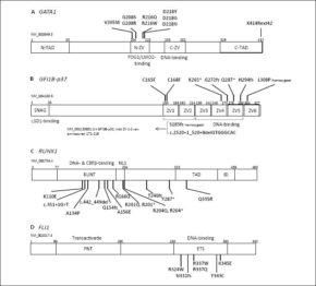 FIGUUR 1. Gevonden mutaties in GATA1, GFI1B, RUNX1 en FLI1 bij individuen met erfelijke bloedingsneigingen. GATA1 (A), GFI1B (B), RUNX1 (C) en FLI1 (D) zijn schematisch weergegeven, met de verschillende functionele domeinen (nummers boven de domeinen geven de aminozuurposities weer) en de gevonden mutaties bij individuen met erfelijke bloedingsneigingen. De NM-nummers geven aan van welk transcript het eiwit is weergegeven. De mutaties zijn heterozygoot wanneer niet anders vermeld. (A) N/C-terminaal transactivatiedomein (N/C-TAD); N/C-zinkvinger (N/C-ZV). (B) De meest voorkomende isovorm GFI1B-p37 is weergegeven. GFI1B-p32 mist intact zinkvinger 1 en 2 (aminozuren 171–216), waardoor enkele varianten alleen GFI1B-p37 treffen. 'Snail'/GFU-domein (SNAG); zinkvinger (ZV). (C) Nucleair lokalisatiesignaal (NLS); transactivatiedomein (TAD); intermediair domein (ID). (D) 'Pointed' domein (PNT); E26 transformatie-specifiek domein (ETS).
